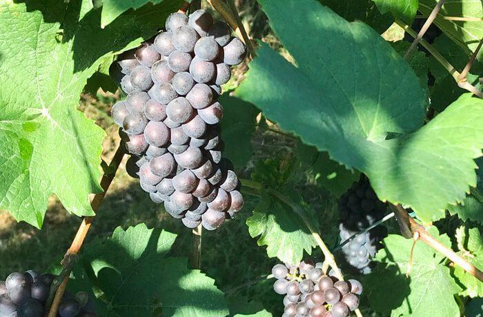 The magic of grape harvest